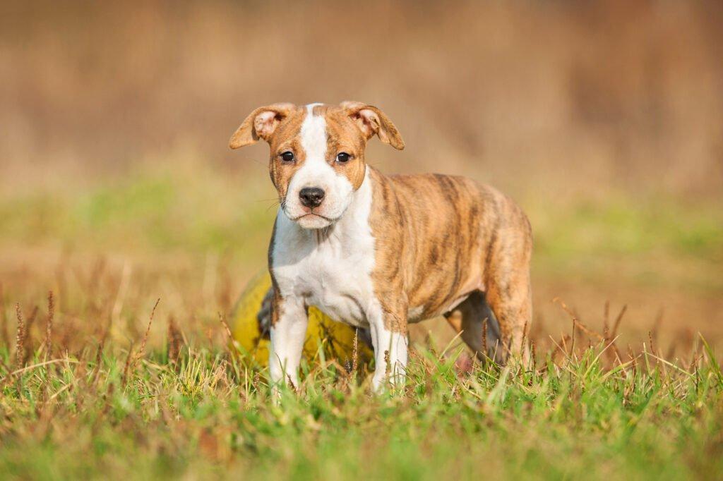 Americký stafordšírský teriér štěně