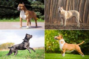 Bojová plemena psů
