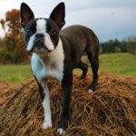Psí plemeno Bostonský teriér