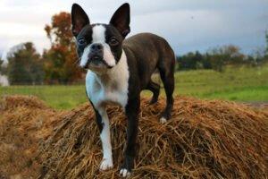 Pes Bostonský teriér