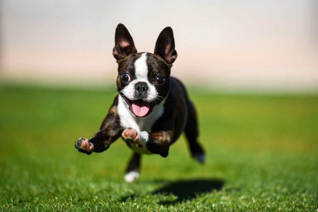 Bostonský teriér štěně