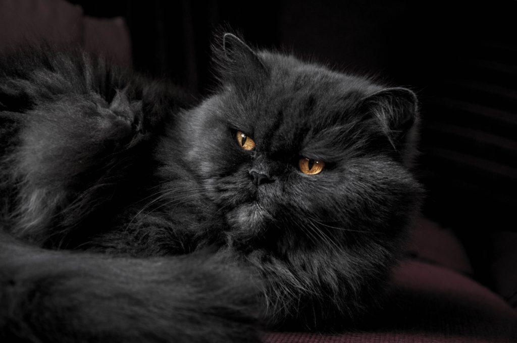 Černá perská kočka