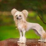 Psí plemeno Čínský chocholatý pes