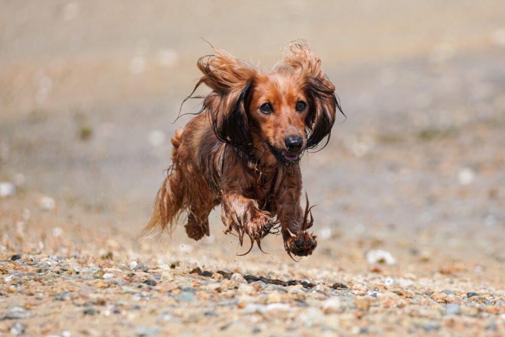 Jezevčík jako lovecký pes norník