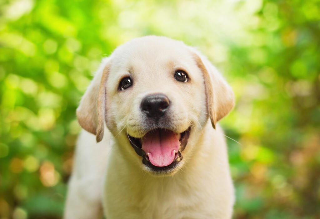 Labradorský retrívr štěně