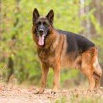 Hlídací pes - jaký hlídač je ten nejlepší?