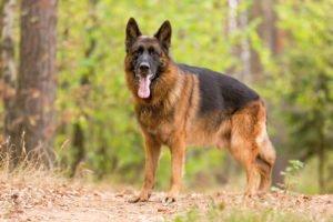 Německý ovčák - ideální hlídací pes
