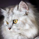 Perská dlouhosrstá kočka