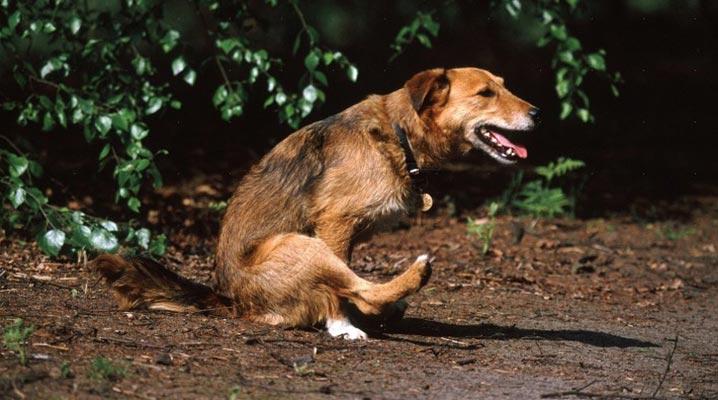 Pes sáňkuje - má červy