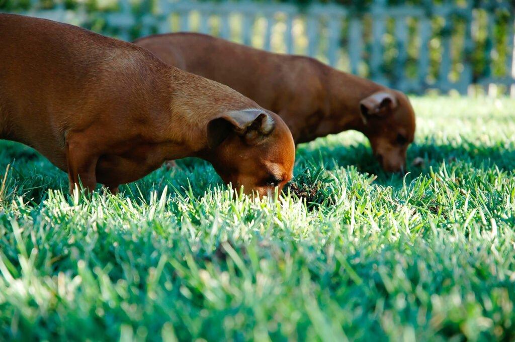 Pes žere trávu a hlínu