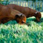 Proč pes žere trávu, výkaly nebo hlínu?