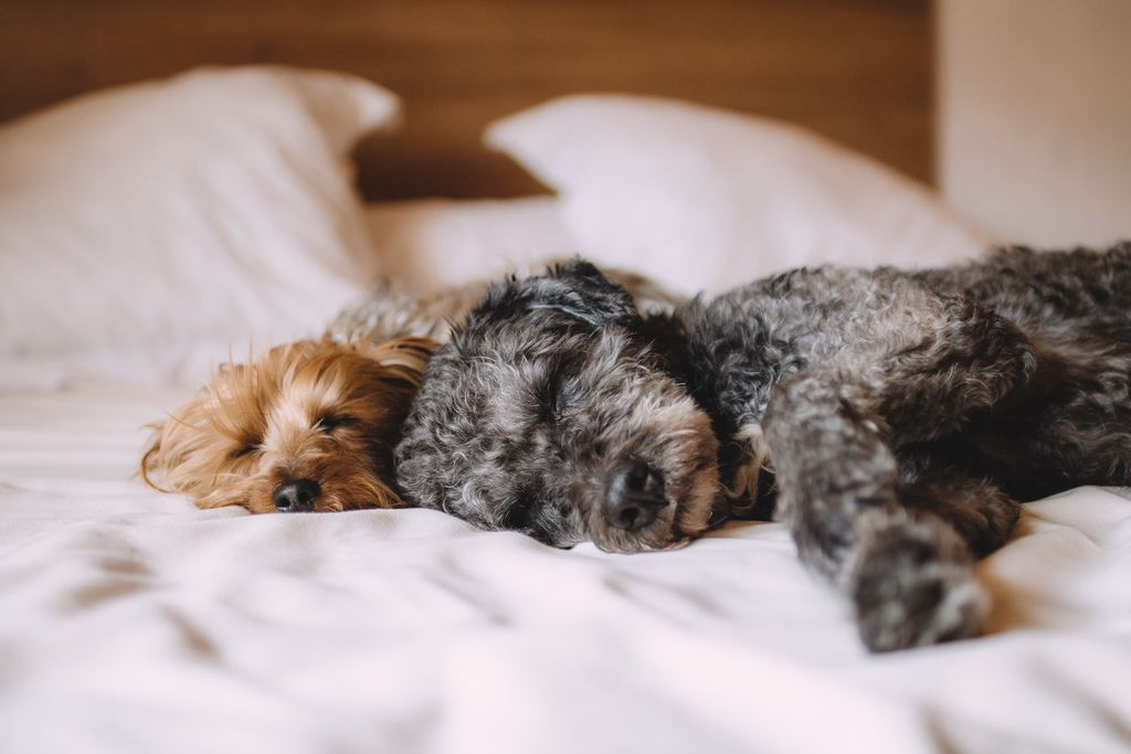 Psi spí v posteli