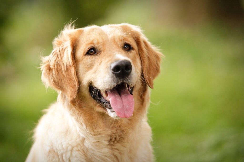 Pes Zlatý retrívr